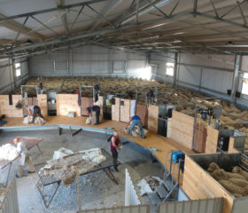 Sheep Yards & Shed Fitout- Grass Patch