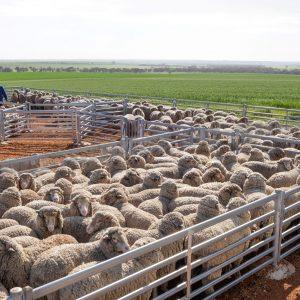 Sheep Yard Projects